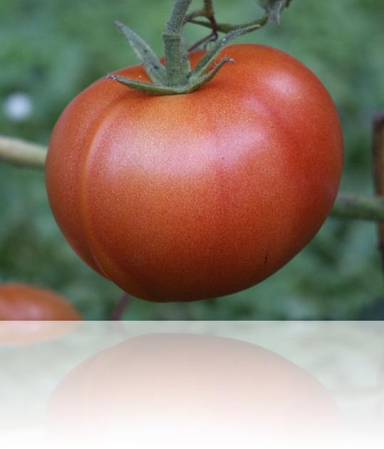 paradajz31072009