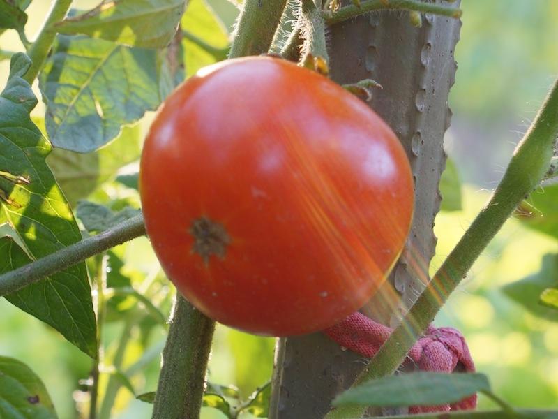paradajz_062012_-02