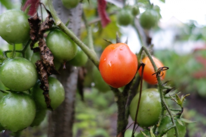 paradajz_062014_3