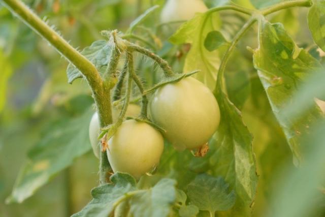 paradajz_062012_-09